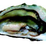 Huître sur lit de poireaux à la béchamel